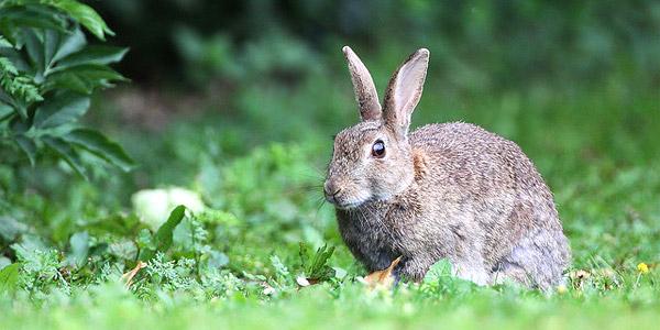 La préoccupation essentielle des lapins du parc