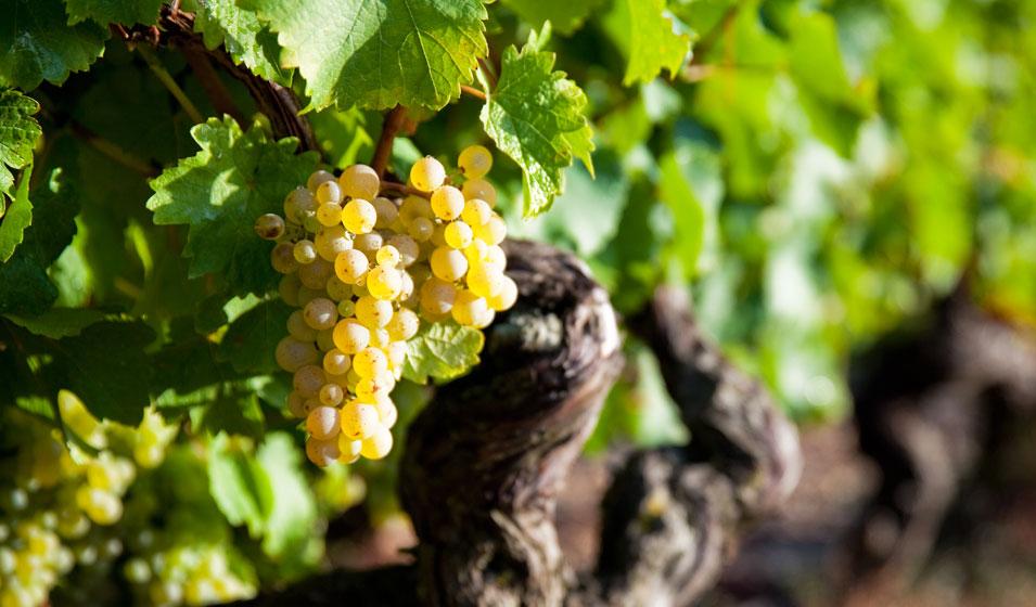 La consommation de vin se met au blanc